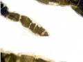 Chaetomorpha Linum-3