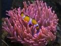 Entacmaeaquadricolor