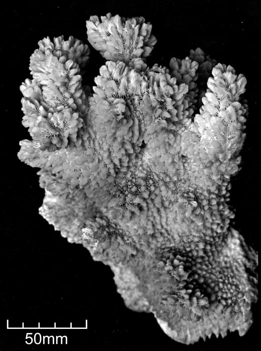 Hydnophoraexesa-B
