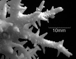 Seriatopora Dendritica-B