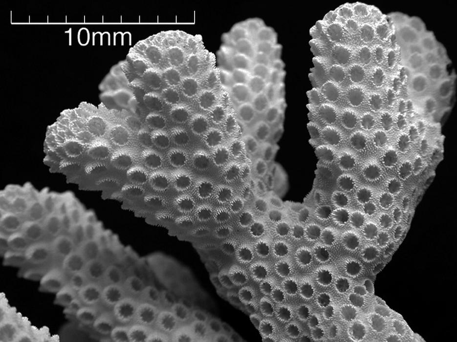 Stylophoramadagascarensis-B
