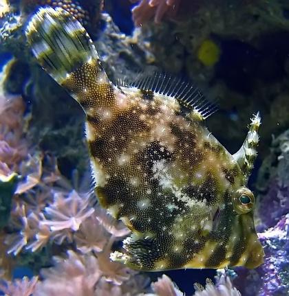 Acreichthys tomentosus -2