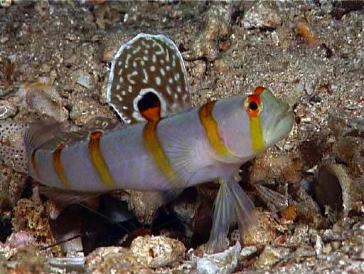 Amblyeleotris Randalli-2