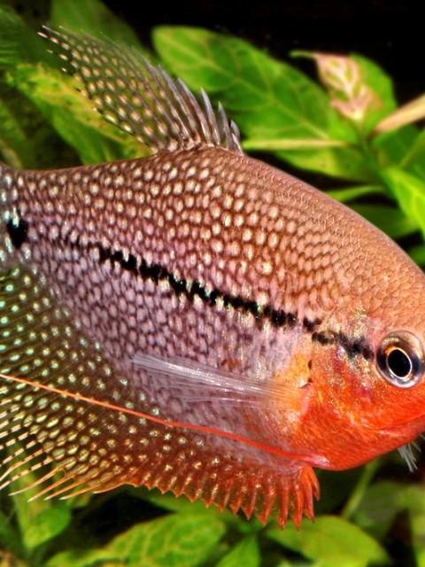 Gurami Perla - Trichogaster Leerii