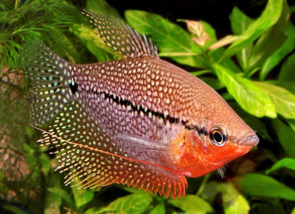 Gurami Perla – Trichogaster Leerii