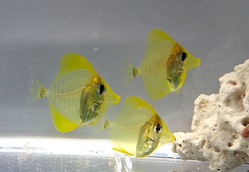 yellow-tang-captive-bred