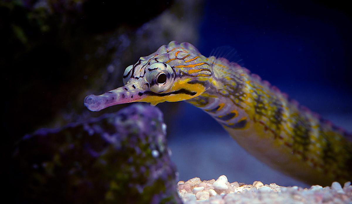 Corythoichthys Intestinalis