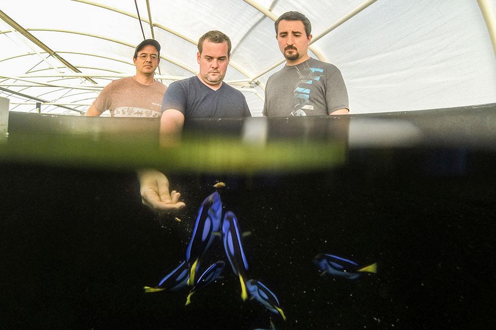 Tres miembros del Equipo de Laboratorio de Acuicultura Tropical con Pacific Blue Tang reproductores. De izquierda a derecha; Eric Cassiano, Kevin Barden, el Dr. Matt DiMaggio