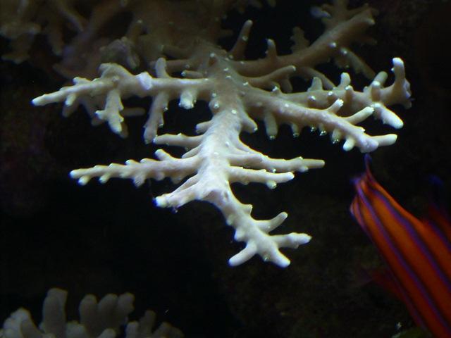 Acropora derawanensis