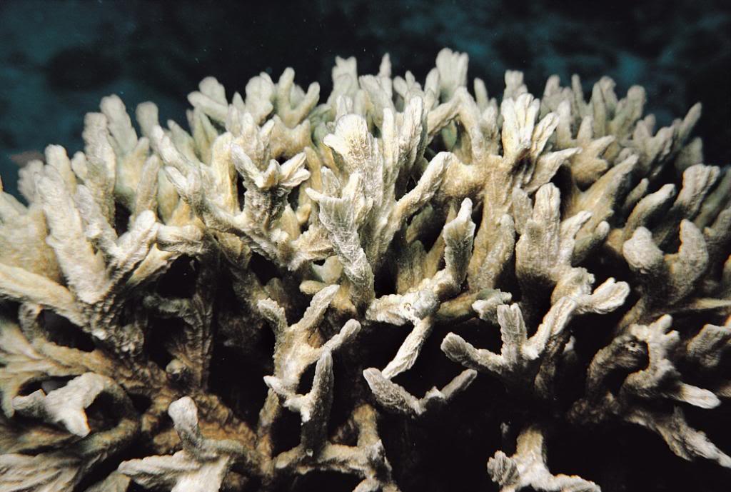 Hydnophora rigida