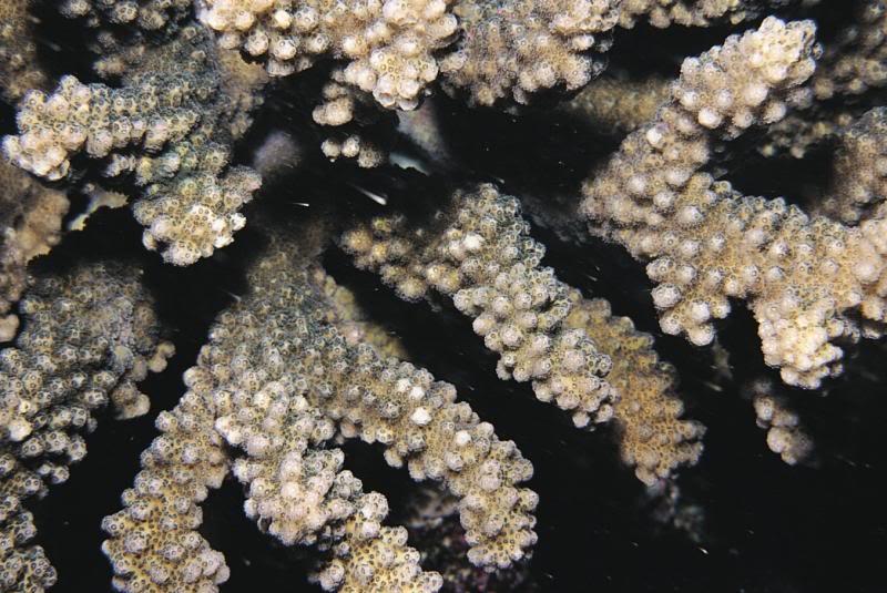 Pocillopora fungiformis