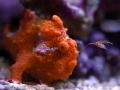 Antennarius Maculatus-2