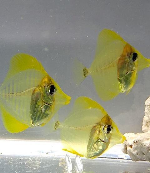 Zebrasoma flavescens criados en cautividad por el Instituto Oceánico