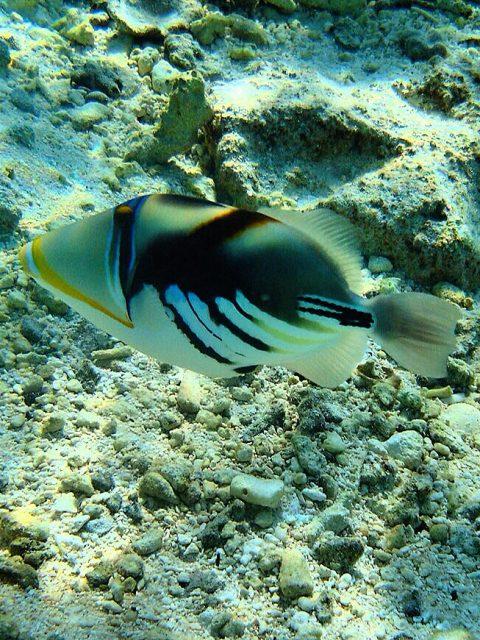 BALLESTA PICASSO - Rhinecanthus aculeatus